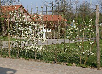 fruitbomen hoogstam te koop